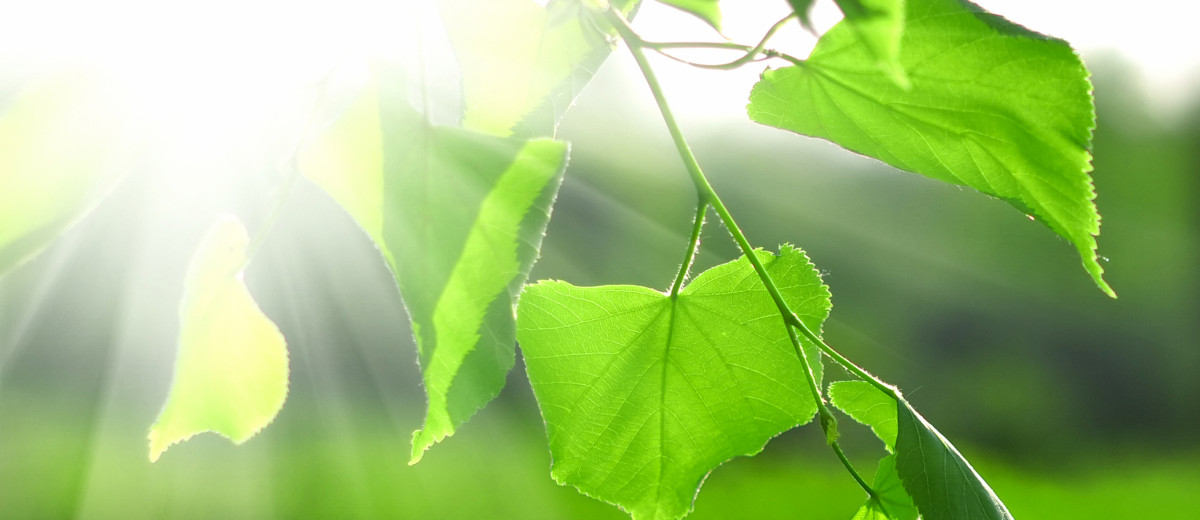 Sun beams and green leaves over bright background